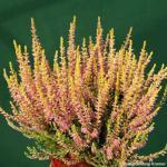 10x Knospenheide Gardengirls Theresa - Calluna vulgaris