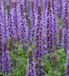Salbei Sensation Medium Deep Blue - Salvia nemorosa