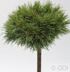 Hochstamm Kompakte Kugelkiefer Varella 80-100cm - Pinus mugo Varella