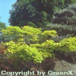 Japanischer Goldahorn 80-100cm - Acer shirasawanum Aureum
