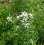 Langblättrige Scheinbergminze - Pycnanthemum tenuifolium