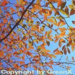 Wald Tupelobaum 40-60cm - Nyssa sylvatica