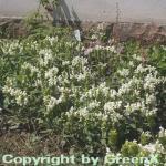 Großblütige Braunelle Alba - Prunella grandiflora