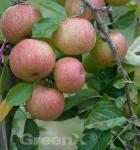 Apfelbaum Kasseler Renette 60-80cm - fest und feinwürzig