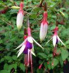 Fuchsie Arauco - Fuchsia magellanica