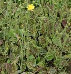 Gepflecktes Habichtskraut - Hieracium maculata