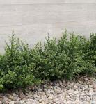 10x Japanische Zwerg Stechpalme Green Lustre 10-15cm - Ilex crenata
