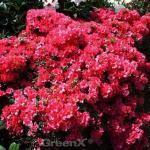 Japanische Azalee Hatsugin 20-25cm - Rhododendron obtusum - Zwerg Alpenrose
