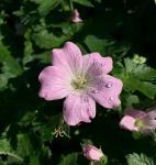 Storchschnabel Dreamland - Geranium cultorum
