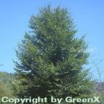 Rotbuche 100-125cm - Fagus sylvatica
