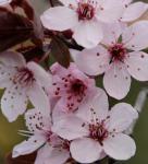 Blutpflaume Spring Glory 100-125cm - Prunus cerasifera