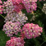 Schafgarbe Colorado - Achillea millefolium