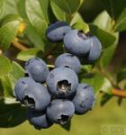 Heidelbeere Bluecrop 80-100cm - Vaccinium corymbosum