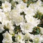 Japanische Azalee Schneeperle® 20-25cm - Rhododendron obtusum - Zwerg Alpenrose