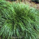 Segge Amazon Mist - Carex comans