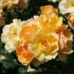 Hochstamm Rose Hansestadt Rostock® 60-80cm