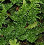 Krauser Goldschuppenfarn - Dryopteris affinis