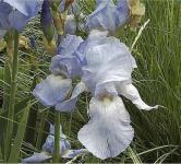 Schwertlilie Springtime Madonna - Iris barbata