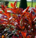 Glanzmispel Mandarino 80-100cm - Photinia fraseri