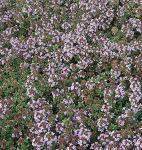 Kümmel Thymian - Thymus herba-barona