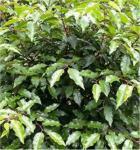Portugiesische Lorbeerkirsche Angustifolia 125-150cm - Prunus lusitanica