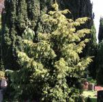 Goldgrüne Adlerschwingeneibe 100-125cm - Taxus baccata