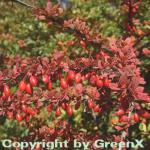 Grüne Heckenbeberitze 80-100cm - Berberis thunbergii