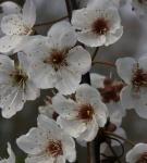 Hochstamm Wilfpflaume Hessei 80-100cm - Prunus cerasifera