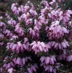 10x Winterheide Rogenta - Erica carnea