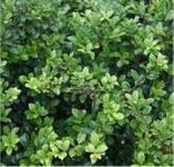 Bonsai Japanische Stechpalme Ilex Green Hedge 60-80cm