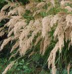 Silberährengras - Achnatherum calamagrostis