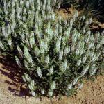 Ziersalbei Schneehügel - Salvia nemorosa