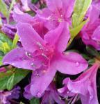 Kriechende Immergrüne Zwerg Azalee Kakadu 15-20cm - Rhododendron nakaharai