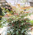 Himmelsbambus Obsessed 30-40cm - Nandina domestica