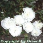 Hochstamm Rose Snow Ballet® 80-100cm