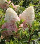 Rispenhortensie Silver Dollar 60-80cm - Hydrangea paniculata