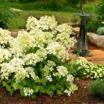 Rispenhortensie Mont Blanc® 30-40cm - Hydrangea paniculata