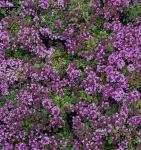 Doerflers Teppich Thymian - Thymus doerfleri