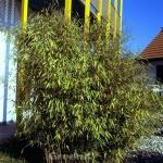 Schwarzer Gartenbambus 80-100cm - Fargesia nitida