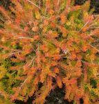 10x Winterheide Foxhollow - Erica carnea