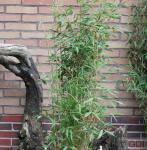 Gartenbambus Sonnenschein 80-100cm - Fargesia murielae
