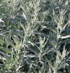 Silber Edelraute Silver Queen - Artemisia ludoviciana