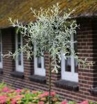 Hochstamm Hängende Wildbirne 60-80cm - Pyrus salicifolia Pendula