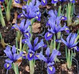 Winteriris Harmony - Iris reticulata