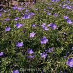Storchenschnabel Blue Blood - Geranium cultorum