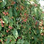 Hochstamm Zierapfel Red Jade 100-125cm - Malus Hybride