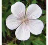Storchenschnabel Kashmir White - Geranium clarkei