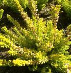 10x Besenheide Sesam - Calluna vulgaris