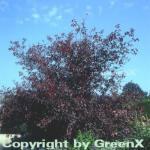 Hochstamm Zierkirsche 80-100cm - Prunus blireana