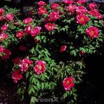 Strauchpfingstrose Hana Daijin - Paeonia suffruticosa